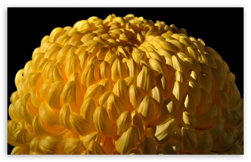 Yellow Chrysanthemum HD wallpaper for Wide 16:10 5:3 Widescreen WHXGA WQXGA WUXGA WXGA WGA ; HD 16:9 High Definition WQHD QWXGA 1080p 900p 720p QHD nHD ; Standard 4:3 5:4 3:2 Fullscreen UXGA XGA SVGA QSXGA SXGA DVGA HVGA HQVGA devices ( Apple PowerBook G4 iPhone 4 3G 3GS iPod Touch ) ; iPad 1/2/Mini ; Mobile 4:3 5:3 3:2 16:9 5:4 - UXGA XGA SVGA WGA DVGA HVGA HQVGA devices ( Apple PowerBook G4 iPhone 4 3G 3GS iPod Touch ) WQHD QWXGA 1080p 900p 720p QHD nHD QSXGA SXGA ;