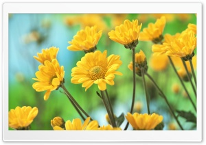 Yellow Chrysanthemums HD Wide Wallpaper for 4K UHD Widescreen desktop & smartphone