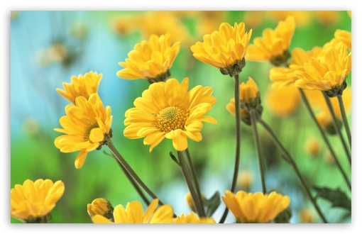 Yellow Chrysanthemums HD wallpaper for Wide 16:10 5:3 Widescreen WHXGA WQXGA WUXGA WXGA WGA ; HD 16:9 High Definition WQHD QWXGA 1080p 900p 720p QHD nHD ; Standard 4:3 5:4 3:2 Fullscreen UXGA XGA SVGA QSXGA SXGA DVGA HVGA HQVGA devices ( Apple PowerBook G4 iPhone 4 3G 3GS iPod Touch ) ; Tablet 1:1 ; iPad 1/2/Mini ; Mobile 4:3 5:3 3:2 16:9 5:4 - UXGA XGA SVGA WGA DVGA HVGA HQVGA devices ( Apple PowerBook G4 iPhone 4 3G 3GS iPod Touch ) WQHD QWXGA 1080p 900p 720p QHD nHD QSXGA SXGA ;