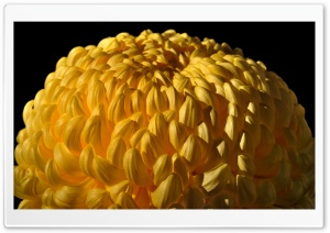 Yellow Chrysanths HD Wide Wallpaper for Widescreen