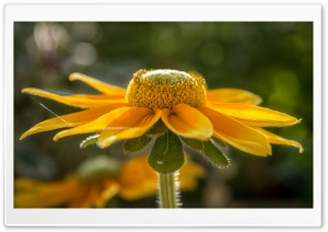 Yellow Coneflower HD Wide Wallpaper for Widescreen