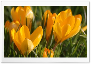 Yellow Crocus HD Wide Wallpaper for Widescreen