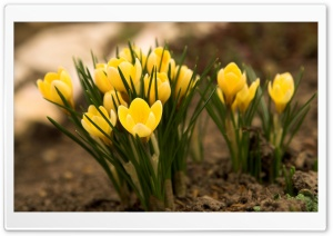 Yellow Crocus HD Wide Wallpaper for 4K UHD Widescreen desktop & smartphone
