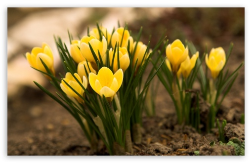 Yellow Crocus HD wallpaper for Wide 16:10 5:3 Widescreen WHXGA WQXGA WUXGA WXGA WGA ; HD 16:9 High Definition WQHD QWXGA 1080p 900p 720p QHD nHD ; Standard 4:3 5:4 3:2 Fullscreen UXGA XGA SVGA QSXGA SXGA DVGA HVGA HQVGA devices ( Apple PowerBook G4 iPhone 4 3G 3GS iPod Touch ) ; Tablet 1:1 ; iPad 1/2/Mini ; Mobile 4:3 5:3 3:2 16:9 5:4 - UXGA XGA SVGA WGA DVGA HVGA HQVGA devices ( Apple PowerBook G4 iPhone 4 3G 3GS iPod Touch ) WQHD QWXGA 1080p 900p 720p QHD nHD QSXGA SXGA ;