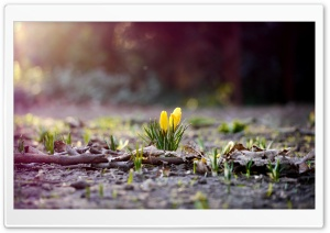 Yellow Crocus Buds HD Wide Wallpaper for 4K UHD Widescreen desktop & smartphone