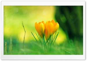 Yellow Crocus Flowers HD Wide Wallpaper for 4K UHD Widescreen desktop & smartphone