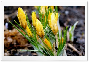 Yellow Crocuses HD Wide Wallpaper for Widescreen