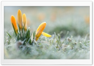 Yellow Crocuses Flowers, Early Spring HD Wide Wallpaper for Widescreen