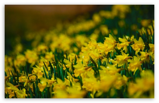 Yellow Daffodils ❤ 4K UHD Wallpaper for Wide 16:10 5:3 Widescreen WHXGA WQXGA WUXGA WXGA WGA ; 4K UHD 16:9 Ultra High Definition 2160p 1440p 1080p 900p 720p ; UHD 16:9 2160p 1440p 1080p 900p 720p ; Standard 4:3 5:4 3:2 Fullscreen UXGA XGA SVGA QSXGA SXGA DVGA HVGA HQVGA ( Apple PowerBook G4 iPhone 4 3G 3GS iPod Touch ) ; Tablet 1:1 ; iPad 1/2/Mini ; Mobile 4:3 5:3 3:2 16:9 5:4 - UXGA XGA SVGA WGA DVGA HVGA HQVGA ( Apple PowerBook G4 iPhone 4 3G 3GS iPod Touch ) 2160p 1440p 1080p 900p 720p QSXGA SXGA ; Dual 16:10 5:3 16:9 4:3 5:4 WHXGA WQXGA WUXGA WXGA WGA 2160p 1440p 1080p 900p 720p UXGA XGA SVGA QSXGA SXGA ;