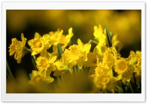 Yellow Daffodils HD Wide Wallpaper for Widescreen