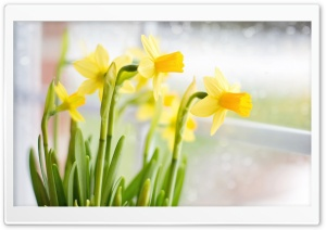 Yellow Daffodils Flowers near Window HD Wide Wallpaper for 4K UHD Widescreen desktop & smartphone