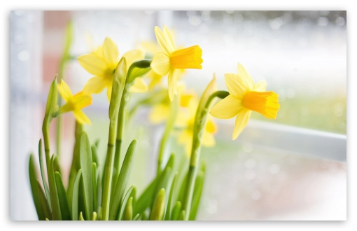 Yellow Daffodils Flowers near Window HD wallpaper for Wide 16:10 5:3 Widescreen WHXGA WQXGA WUXGA WXGA WGA ; UltraWide 21:9 24:10 ; HD 16:9 High Definition WQHD QWXGA 1080p 900p 720p QHD nHD ; UHD 16:9 WQHD QWXGA 1080p 900p 720p QHD nHD ; Standard 4:3 5:4 3:2 Fullscreen UXGA XGA SVGA QSXGA SXGA DVGA HVGA HQVGA devices ( Apple PowerBook G4 iPhone 4 3G 3GS iPod Touch ) ; Smartphone 16:9 3:2 5:3 WQHD QWXGA 1080p 900p 720p QHD nHD DVGA HVGA HQVGA devices ( Apple PowerBook G4 iPhone 4 3G 3GS iPod Touch ) WGA ; Tablet 1:1 ; iPad 1/2/Mini ; Mobile 4:3 5:3 3:2 16:9 5:4 - UXGA XGA SVGA WGA DVGA HVGA HQVGA devices ( Apple PowerBook G4 iPhone 4 3G 3GS iPod Touch ) WQHD QWXGA 1080p 900p 720p QHD nHD QSXGA SXGA ; Dual 16:10 5:4 3:2 WHXGA WQXGA WUXGA WXGA QSXGA SXGA DVGA HVGA HQVGA devices ( Apple PowerBook G4 iPhone 4 3G 3GS iPod Touch ) ;