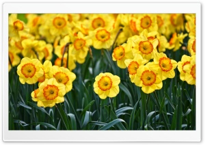 Yellow Daffodils Flowers, Outdoors, Spring Ultra HD Wallpaper for 4K UHD Widescreen desktop, tablet & smartphone
