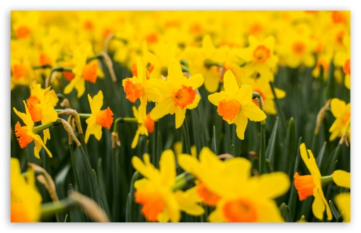 Yellow Daffodils Flowers, Spring UltraHD Wallpaper for Wide 16:10 5:3 Widescreen WHXGA WQXGA WUXGA WXGA WGA ; UltraWide 21:9 24:10 ; 8K UHD TV 16:9 Ultra High Definition 2160p 1440p 1080p 900p 720p ; UHD 16:9 2160p 1440p 1080p 900p 720p ; Standard 4:3 5:4 3:2 Fullscreen UXGA XGA SVGA QSXGA SXGA DVGA HVGA HQVGA ( Apple PowerBook G4 iPhone 4 3G 3GS iPod Touch ) ; Smartphone 16:9 3:2 5:3 2160p 1440p 1080p 900p 720p DVGA HVGA HQVGA ( Apple PowerBook G4 iPhone 4 3G 3GS iPod Touch ) WGA ; Tablet 1:1 ; iPad 1/2/Mini ; Mobile 4:3 5:3 3:2 16:9 5:4 - UXGA XGA SVGA WGA DVGA HVGA HQVGA ( Apple PowerBook G4 iPhone 4 3G 3GS iPod Touch ) 2160p 1440p 1080p 900p 720p QSXGA SXGA ;