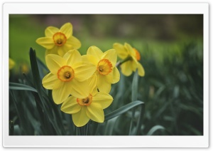 Yellow Daffodils Spring Flowers HD Wide Wallpaper for 4K UHD Widescreen desktop & smartphone