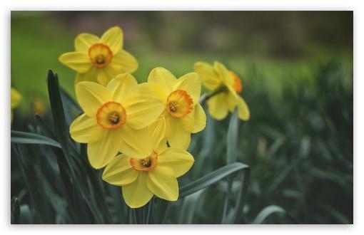 Yellow Daffodils Spring Flowers ❤ 4K UHD Wallpaper for Wide 16:10 5:3 Widescreen WHXGA WQXGA WUXGA WXGA WGA ; UltraWide 21:9 24:10 ; 4K UHD 16:9 Ultra High Definition 2160p 1440p 1080p 900p 720p ; UHD 16:9 2160p 1440p 1080p 900p 720p ; Standard 4:3 5:4 3:2 Fullscreen UXGA XGA SVGA QSXGA SXGA DVGA HVGA HQVGA ( Apple PowerBook G4 iPhone 4 3G 3GS iPod Touch ) ; Smartphone 16:9 3:2 5:3 2160p 1440p 1080p 900p 720p DVGA HVGA HQVGA ( Apple PowerBook G4 iPhone 4 3G 3GS iPod Touch ) WGA ; Tablet 1:1 ; iPad 1/2/Mini ; Mobile 4:3 5:3 3:2 16:9 5:4 - UXGA XGA SVGA WGA DVGA HVGA HQVGA ( Apple PowerBook G4 iPhone 4 3G 3GS iPod Touch ) 2160p 1440p 1080p 900p 720p QSXGA SXGA ;