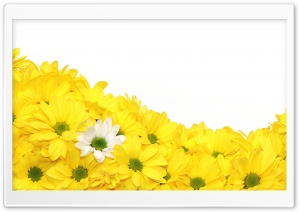 Yellow Daisies HD Wide Wallpaper for Widescreen