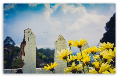 Download Yellow Daisies Flowers, Fence HD Wallpaper