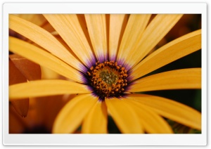 Yellow Daisy HD Wide Wallpaper for Widescreen
