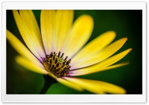 Yellow Daisy Flower HD Wide Wallpaper for Widescreen