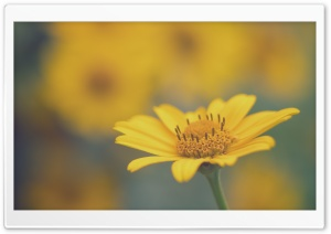 Yellow Daisy Flower Macro HD Wide Wallpaper for Widescreen