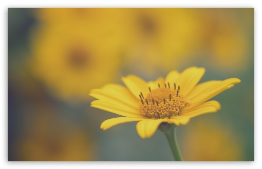 Yellow Daisy Flower Macro ❤ 4K UHD Wallpaper for Wide 16:10 5:3 Widescreen WHXGA WQXGA WUXGA WXGA WGA ; 4K UHD 16:9 Ultra High Definition 2160p 1440p 1080p 900p 720p ; Standard 4:3 5:4 3:2 Fullscreen UXGA XGA SVGA QSXGA SXGA DVGA HVGA HQVGA ( Apple PowerBook G4 iPhone 4 3G 3GS iPod Touch ) ; Smartphone 16:9 3:2 5:3 2160p 1440p 1080p 900p 720p DVGA HVGA HQVGA ( Apple PowerBook G4 iPhone 4 3G 3GS iPod Touch ) WGA ; Tablet 1:1 ; iPad 1/2/Mini ; Mobile 4:3 5:3 3:2 16:9 5:4 - UXGA XGA SVGA WGA DVGA HVGA HQVGA ( Apple PowerBook G4 iPhone 4 3G 3GS iPod Touch ) 2160p 1440p 1080p 900p 720p QSXGA SXGA ;