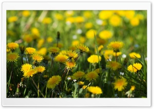 Yellow Dandelions HD Wide Wallpaper for Widescreen