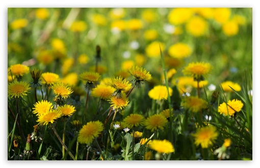 Yellow Dandelions ❤ 4K UHD Wallpaper for Wide 16:10 5:3 Widescreen WHXGA WQXGA WUXGA WXGA WGA ; 4K UHD 16:9 Ultra High Definition 2160p 1440p 1080p 900p 720p ; Standard 4:3 5:4 3:2 Fullscreen UXGA XGA SVGA QSXGA SXGA DVGA HVGA HQVGA ( Apple PowerBook G4 iPhone 4 3G 3GS iPod Touch ) ; Tablet 1:1 ; iPad 1/2/Mini ; Mobile 4:3 5:3 3:2 16:9 5:4 - UXGA XGA SVGA WGA DVGA HVGA HQVGA ( Apple PowerBook G4 iPhone 4 3G 3GS iPod Touch ) 2160p 1440p 1080p 900p 720p QSXGA SXGA ; Dual 16:10 5:3 16:9 4:3 5:4 WHXGA WQXGA WUXGA WXGA WGA 2160p 1440p 1080p 900p 720p UXGA XGA SVGA QSXGA SXGA ;