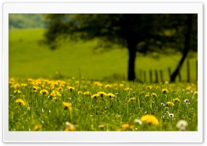 Yellow Dandelions Field HD Wide Wallpaper for 4K UHD Widescreen desktop & smartphone