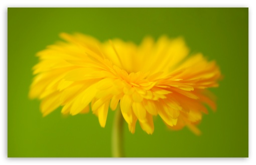Yellow Flower ❤ 4K UHD Wallpaper for Wide 16:10 5:3 Widescreen WHXGA WQXGA WUXGA WXGA WGA ; 4K UHD 16:9 Ultra High Definition 2160p 1440p 1080p 900p 720p ; Standard 4:3 5:4 3:2 Fullscreen UXGA XGA SVGA QSXGA SXGA DVGA HVGA HQVGA ( Apple PowerBook G4 iPhone 4 3G 3GS iPod Touch ) ; Smartphone 5:3 WGA ; Tablet 1:1 ; iPad 1/2/Mini ; Mobile 4:3 5:3 3:2 16:9 5:4 - UXGA XGA SVGA WGA DVGA HVGA HQVGA ( Apple PowerBook G4 iPhone 4 3G 3GS iPod Touch ) 2160p 1440p 1080p 900p 720p QSXGA SXGA ;