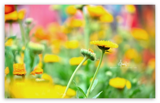 Yellow Flower HD wallpaper for Wide 16:10 5:3 Widescreen WHXGA WQXGA WUXGA WXGA WGA ; HD 16:9 High Definition WQHD QWXGA 1080p 900p 720p QHD nHD ; Standard 4:3 5:4 3:2 Fullscreen UXGA XGA SVGA QSXGA SXGA DVGA HVGA HQVGA devices ( Apple PowerBook G4 iPhone 4 3G 3GS iPod Touch ) ; Tablet 1:1 ; iPad 1/2/Mini ; Mobile 4:3 5:3 3:2 16:9 5:4 - UXGA XGA SVGA WGA DVGA HVGA HQVGA devices ( Apple PowerBook G4 iPhone 4 3G 3GS iPod Touch ) WQHD QWXGA 1080p 900p 720p QHD nHD QSXGA SXGA ;