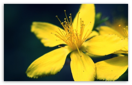 Yellow  Flower UltraHD Wallpaper for Wide 16:10 5:3 Widescreen WHXGA WQXGA WUXGA WXGA WGA ; 8K UHD TV 16:9 Ultra High Definition 2160p 1440p 1080p 900p 720p ; UHD 16:9 2160p 1440p 1080p 900p 720p ; Standard 4:3 5:4 3:2 Fullscreen UXGA XGA SVGA QSXGA SXGA DVGA HVGA HQVGA ( Apple PowerBook G4 iPhone 4 3G 3GS iPod Touch ) ; Tablet 1:1 ; iPad 1/2/Mini ; Mobile 4:3 5:3 3:2 16:9 5:4 - UXGA XGA SVGA WGA DVGA HVGA HQVGA ( Apple PowerBook G4 iPhone 4 3G 3GS iPod Touch ) 2160p 1440p 1080p 900p 720p QSXGA SXGA ;