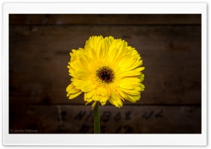Yellow Flower Ultra HD Wallpaper for 4K UHD Widescreen desktop, tablet & smartphone