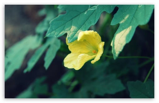 Yellow Flower & Green Leaves HD wallpaper for Wide 16:10 5:3 Widescreen WHXGA WQXGA WUXGA WXGA WGA ; HD 16:9 High Definition WQHD QWXGA 1080p 900p 720p QHD nHD ; Standard 4:3 5:4 3:2 Fullscreen UXGA XGA SVGA QSXGA SXGA DVGA HVGA HQVGA devices ( Apple PowerBook G4 iPhone 4 3G 3GS iPod Touch ) ; Tablet 1:1 ; iPad 1/2/Mini ; Mobile 4:3 5:3 3:2 16:9 5:4 - UXGA XGA SVGA WGA DVGA HVGA HQVGA devices ( Apple PowerBook G4 iPhone 4 3G 3GS iPod Touch ) WQHD QWXGA 1080p 900p 720p QHD nHD QSXGA SXGA ;