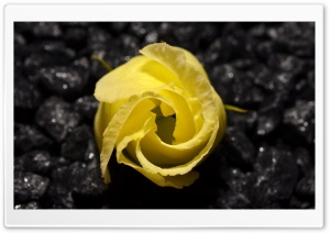 Yellow Flower Black Background HD Wide Wallpaper for Widescreen
