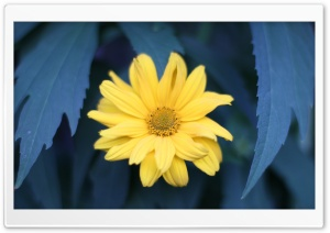 Yellow Flower With Blue Leaves HD Wide Wallpaper for Widescreen