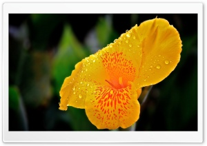 Yellow Flower With Raindrops HD Wide Wallpaper for Widescreen