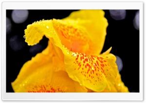 Yellow Flower With Raindrops Macro HD Wide Wallpaper for 4K UHD Widescreen desktop & smartphone