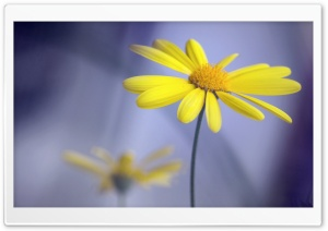 Yellow Flower With Stem HD Wide Wallpaper for Widescreen