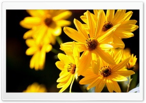 Yellow Flowers Close Up HD Wide Wallpaper for Widescreen
