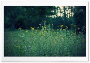Yellow Flowers, Dusk HD Wide Wallpaper for Widescreen