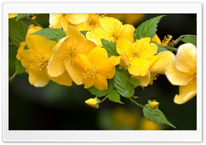 Yellow Flowers On Branches HD Wide Wallpaper for Widescreen