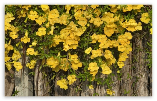 Yellow Flowers On The Fence ❤ 4K UHD Wallpaper for Wide 16:10 5:3 Widescreen WHXGA WQXGA WUXGA WXGA WGA ; 4K UHD 16:9 Ultra High Definition 2160p 1440p 1080p 900p 720p ; Standard 4:3 5:4 3:2 Fullscreen UXGA XGA SVGA QSXGA SXGA DVGA HVGA HQVGA ( Apple PowerBook G4 iPhone 4 3G 3GS iPod Touch ) ; Smartphone 5:3 WGA ; Tablet 1:1 ; iPad 1/2/Mini ; Mobile 4:3 5:3 3:2 16:9 5:4 - UXGA XGA SVGA WGA DVGA HVGA HQVGA ( Apple PowerBook G4 iPhone 4 3G 3GS iPod Touch ) 2160p 1440p 1080p 900p 720p QSXGA SXGA ; Dual 16:10 5:3 16:9 4:3 5:4 WHXGA WQXGA WUXGA WXGA WGA 2160p 1440p 1080p 900p 720p UXGA XGA SVGA QSXGA SXGA ;