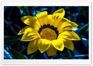 Yellow Gazania HD Wide Wallpaper for Widescreen