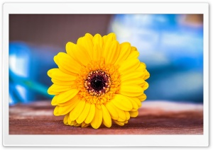 Yellow Gerbera HD Wide Wallpaper for Widescreen