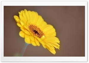 Yellow Gerbera HD Wide Wallpaper for Widescreen
