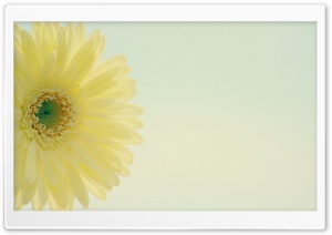 Yellow Gerbera Daisy Low Contrast HD Wide Wallpaper for Widescreen