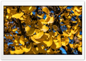 Yellow Ginkgo Leaves HD Wide Wallpaper for Widescreen