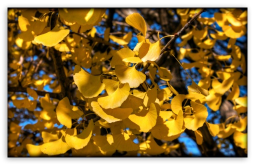 Yellow Ginkgo Leaves HD wallpaper for Wide 16:10 5:3 Widescreen WHXGA WQXGA WUXGA WXGA WGA ; HD 16:9 High Definition WQHD QWXGA 1080p 900p 720p QHD nHD ; UHD 16:9 WQHD QWXGA 1080p 900p 720p QHD nHD ; Standard 4:3 5:4 3:2 Fullscreen UXGA XGA SVGA QSXGA SXGA DVGA HVGA HQVGA devices ( Apple PowerBook G4 iPhone 4 3G 3GS iPod Touch ) ; Tablet 1:1 ; iPad 1/2/Mini ; Mobile 4:3 5:3 3:2 16:9 5:4 - UXGA XGA SVGA WGA DVGA HVGA HQVGA devices ( Apple PowerBook G4 iPhone 4 3G 3GS iPod Touch ) WQHD QWXGA 1080p 900p 720p QHD nHD QSXGA SXGA ; Dual 16:10 5:3 16:9 4:3 5:4 WHXGA WQXGA WUXGA WXGA WGA WQHD QWXGA 1080p 900p 720p QHD nHD UXGA XGA SVGA QSXGA SXGA ;
