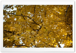 Yellow Ginkgo Tree HD Wide Wallpaper for Widescreen